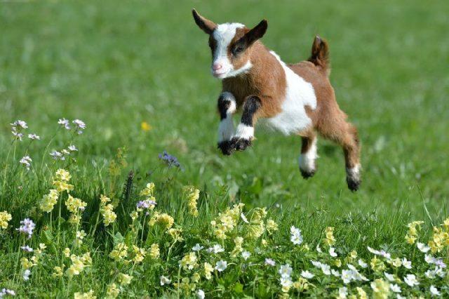 Gambar Goat - Nama Hewan Dari Huruf G