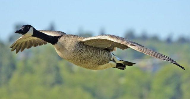 Gambar Goose - Nama Hewan Dari Huruf G