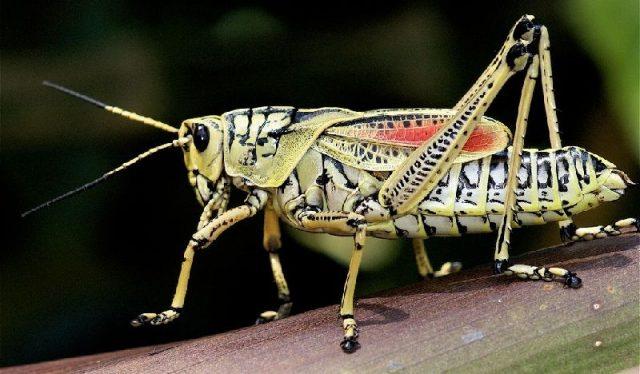 Gambar Grasshopper - Nama Hewan Dari Huruf G