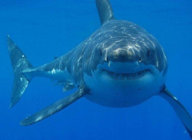 Gambar Great White Shark - Nama Hewan Dari Huruf G