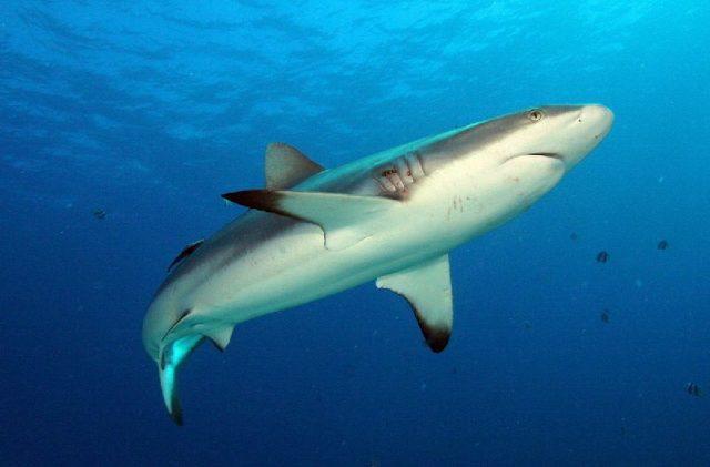 Gambar Grey Reef Shark - Nama Hewan Dari Huruf G