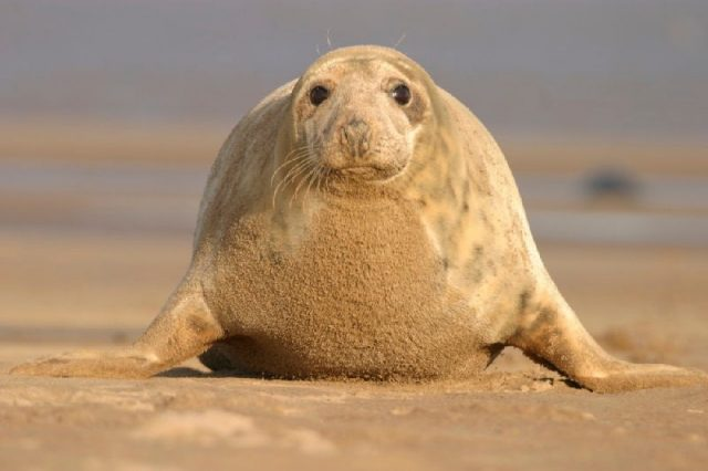 Gambar Grey Seal - Nama Hewan Dari Huruf G