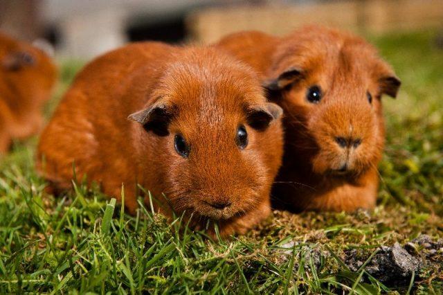 Gambar Guinea Pig - Nama Hewan Dari Huruf G