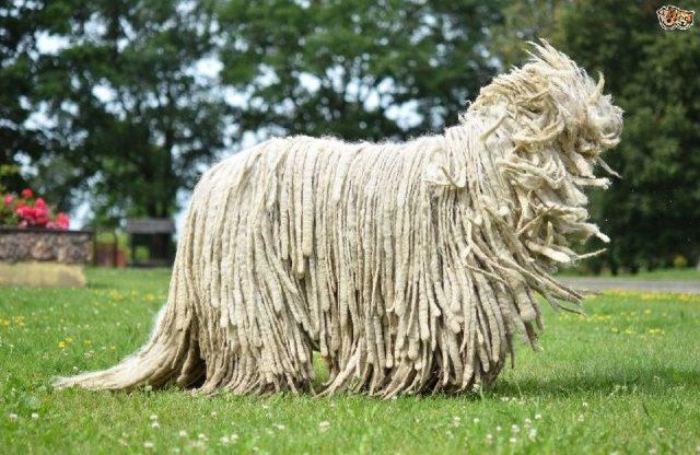 Gambar Jenis Anjing Besar Komondor
