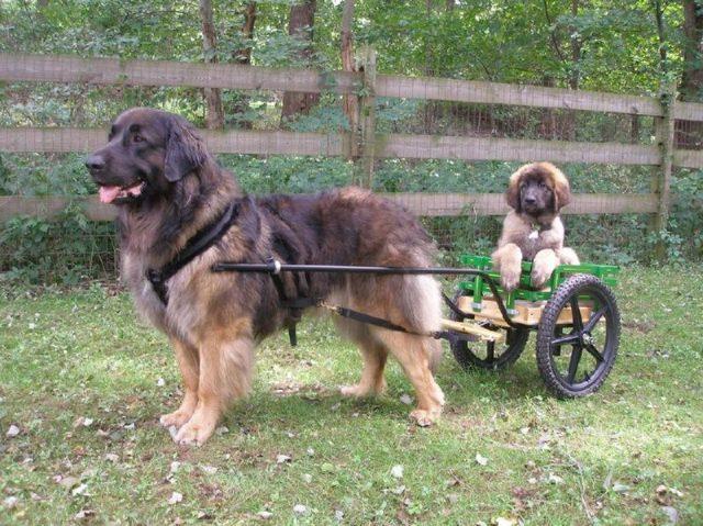 Gambar Jenis Anjing Besar Leonberger
