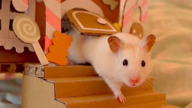 Gambar Nama Hewan Dari Huruf H - Hamster