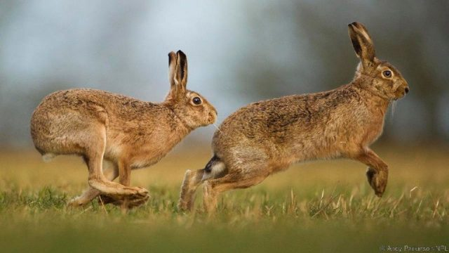 Gambar Nama Hewan Dari Huruf H - Hare