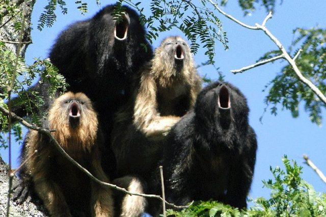 Gambar Nama Hewan Dari Huruf H - Howler Monkey