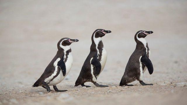 Gambar Nama Hewan Dari Huruf H - Humboldt Penguin