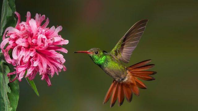 Gambar Nama Hewan Dari Huruf H - Hummingbird
