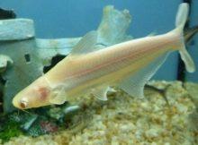 Gambar Pangasius albino - Jenis Ikan Catfish