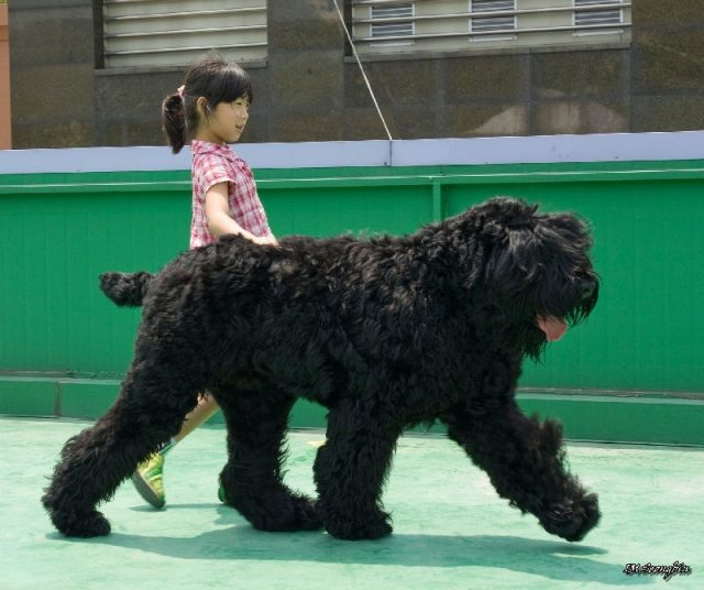 Gambar Jenis Anjing Besar Russian black terrier