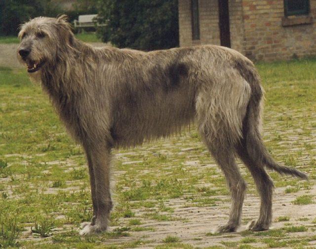 Gambar Jenis Anjing Besar The Irish wolfhound