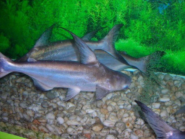 Gambar genghis khan fish - Jenis Ikan Catfish