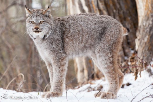 Gambar Jenis Jenis Kucing Dan Harganya American Lynx