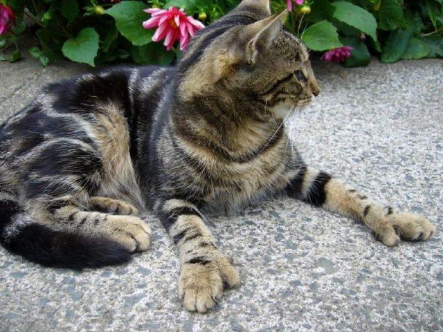 Gambar Jenis Jenis Kucing Dan Harganya American Polydactyl