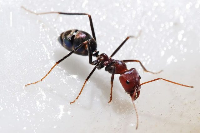 Gambar Ant ( Semut ) Nama Nama Hewan Dalam Bahasa Inggris Dan Gambarnya