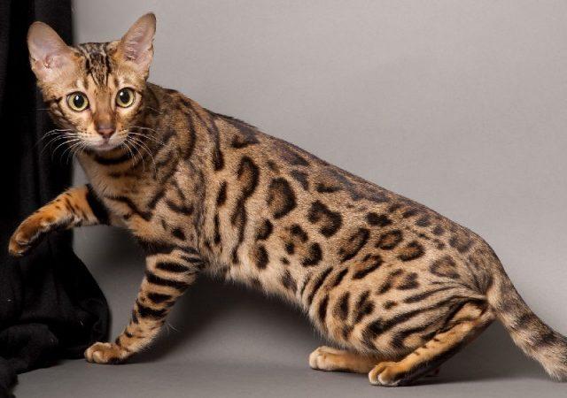 Gambar Jenis Jenis Kucing Dan Harganya Bengal