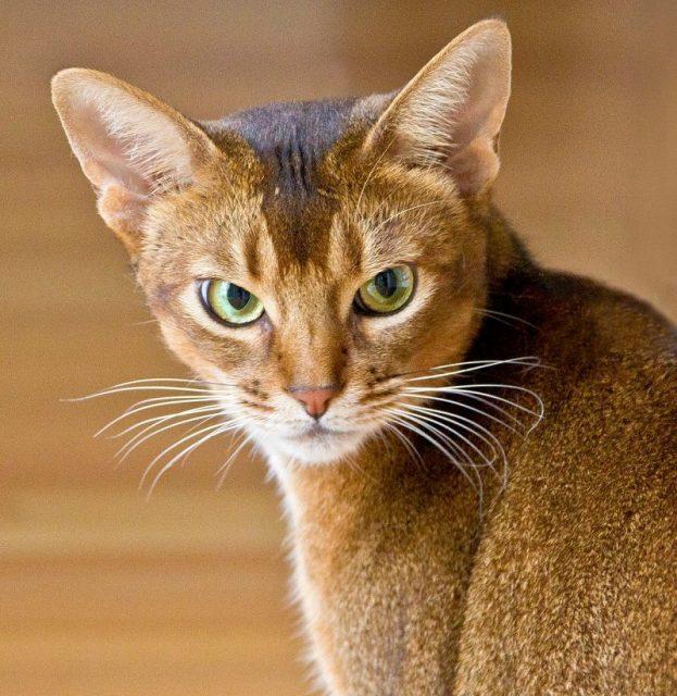 Gambar Bentuk Kepala Kucing Abyssinian - Sifat Kucing Abyssinian