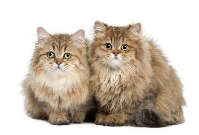 Gambar Jenis Jenis Kucing Dan Harganya British Longhair