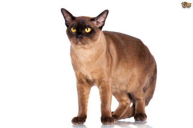 Gambar Jenis Jenis Kucing Dan Harganya Burmese
