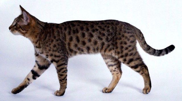 Gambar Jenis Jenis Kucing Dan Harganya California Spangled
