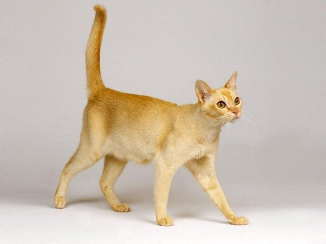 Gambar Jenis Jenis Kucing Dan Harganya Ceylon cat