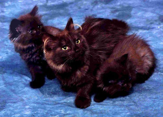 Gambar Jenis Jenis Kucing Dan Harganya Chantilly cat