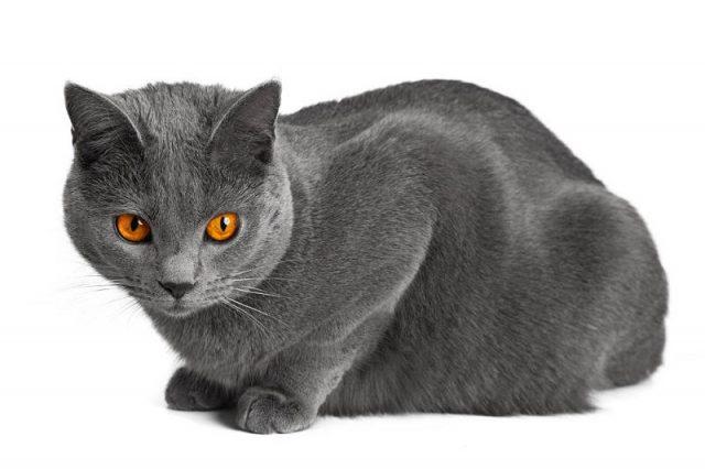 Gambar Jenis Jenis Kucing Dan Harganya Chartreux