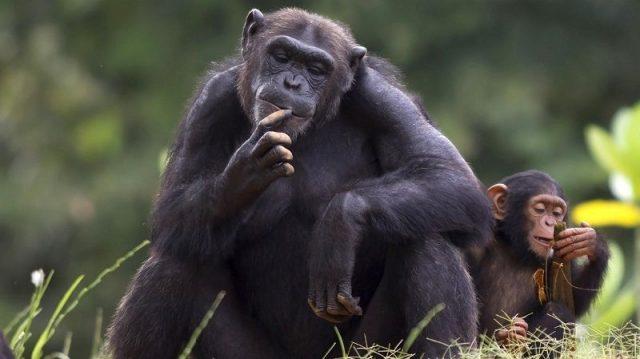 Gambar Nama Nama Hewan Dalam Bahasa Inggris Dan Gambarnya Chimpanzee