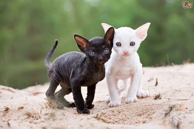 Gambar Jenis Jenis Kucing Dan Harganya Cornish Rex