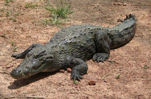 Gambar Nama Nama Hewan Dalam Bahasa Inggris Dan Gambarnya Crocodile