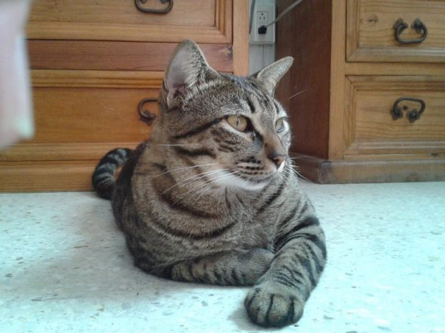 Gambar Jenis Jenis Kucing Dan Harganya Dragon li cat