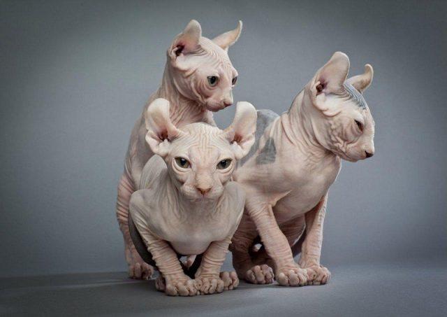Gambar Jenis Jenis Kucing Dan Harganya Elf cat