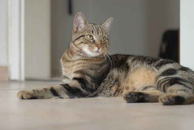 Gambar Jenis Jenis Kucing Dan Harganya European Shorthair