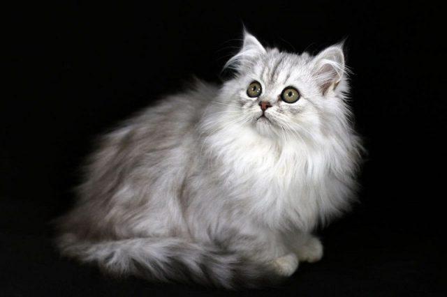 Gambar Jenis Jenis Kucing Dan Harganya Exotic Longhair