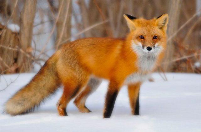 Gambar Nama Nama Hewan Dalam Bahasa Inggris Dan Gambarnya Fox