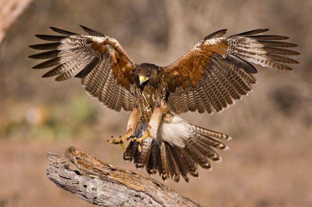 Gambar Nama Nama Hewan Dalam Bahasa Inggris Dan Gambarnya Hawk