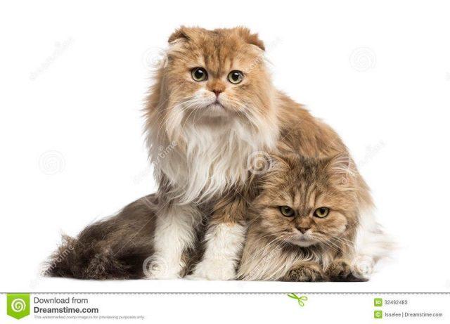 Gambar Jenis Jenis Kucing Dan Harganya Highland Fold