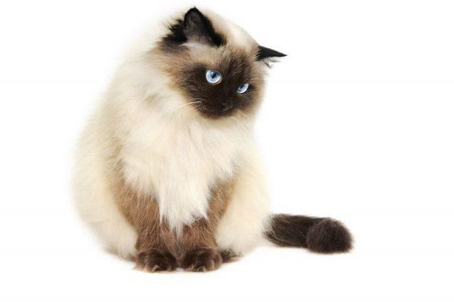 Gambar Jenis Jenis Kucing Dan Harganya Himalayan cat