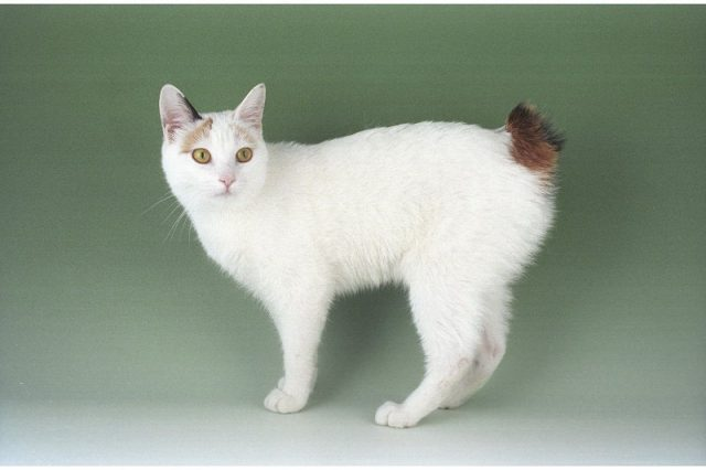 Gambar Jenis Jenis Kucing Dan Harganya Japanese Bobtail