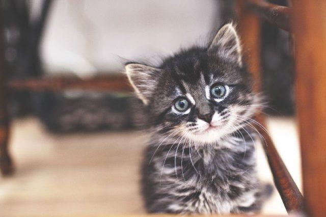 Gambar Nama Nama Hewan Dalam Bahasa Inggris Dan Gambarnya Kitten