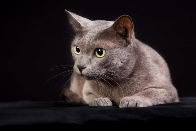 Gambar Jenis Jenis Kucing Dan Harganya Korat