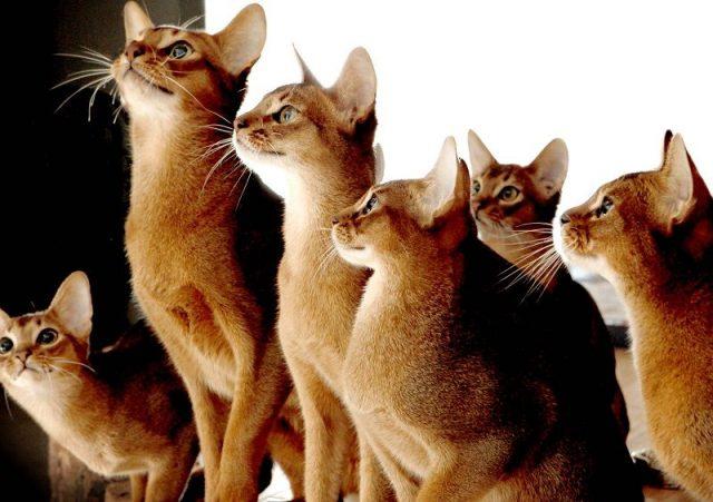Gambar Sifat Kucing Abyssinian