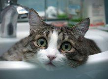 Gambar Kucing Aegean