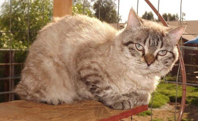 Gambar Kucing Mohave Bobs Dan Kucing Alpine Lynx