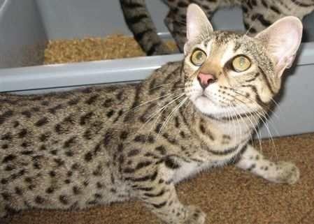 Gambar Kucing Safari