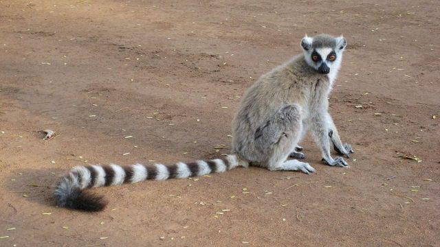 Gambar Nama Nama Hewan Dalam Bahasa Inggris Dan Gambarnya Lemur