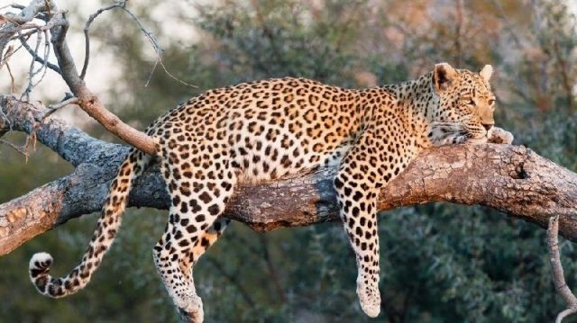 Gambar Nama Nama Hewan Dalam Bahasa Inggris Dan Gambarnya Leopard