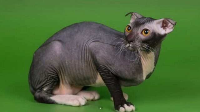 Gambar Jenis Jenis Kucing Dan Harganya Levkoy ukraina